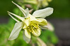 165 Jun 14/13 We had sunshine yesterday with no winds so I was able to capture this yellow Columbine growing in the yard.