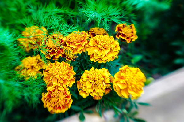 180 Companion gardening.  The Marigolds protecting the dill from aphids.