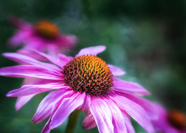 2015-06-20 Coneflower from the garden.