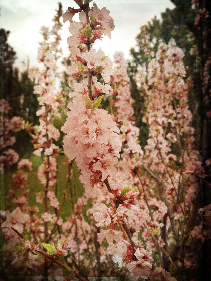143 May 23/13 Nanking Cherry blossoms