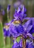 2015-06-14 Siberian Iris after the rain