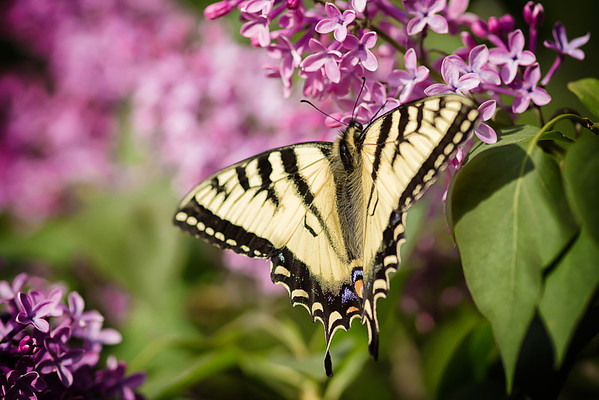 156 Jun 5/13 Swallowtail Butterfly in the lilacs.