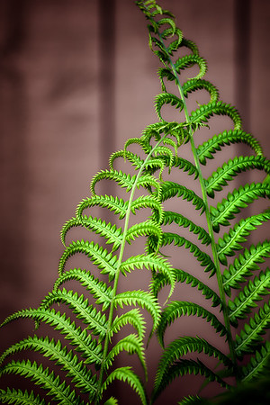 2015-06-12  Ferns from the garden.  Sorry I'm not taking part in today's challenge, I just can't quite figure out what it is.  Thank you so much for your comments yesterday.