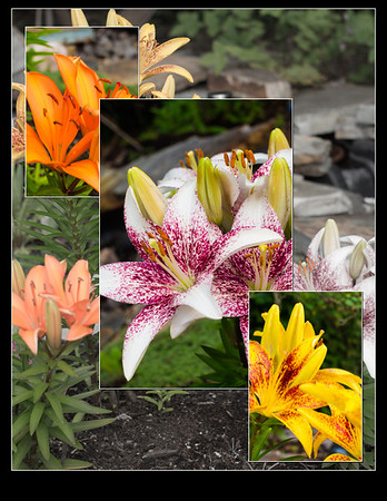192 Jul 24/13 A selection of lilies from the garden.