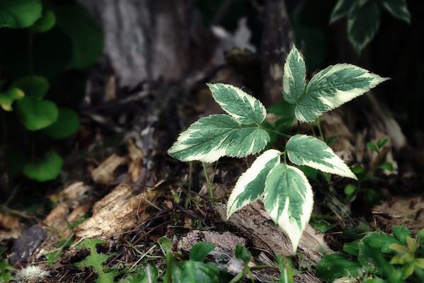 2015-06-17 A weed amongst the weed at the base of an old stump.