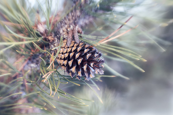 005 Jan 5/13  Pinecone with the lensbaby.<br /> <br /> Critique always welcome.  Thanks for your comments.