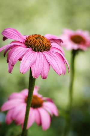 2015-06-11 Purple Coneflower from the garden.  It's actually a very vibrant pink.  I've been missing this daily group and I'm going to try to start doing the dailies again.