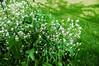 172 Jun 25/13 Horseradish in full bloom.