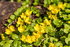 194 Jul 26/13 Creeping Jenny, one of my favorite little plants from the pond garden.<br /> <br /> Thank you for all the too kind comments on my dill yesterday.  Not great but, it was the best I had.
