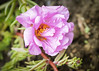158 Jun 7/13 Pink Portulaca from my garden.
