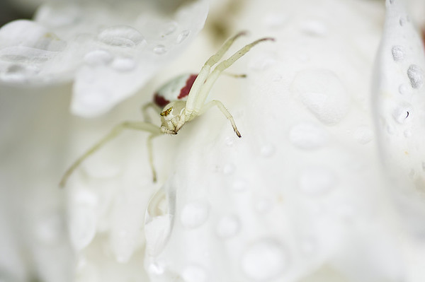 183 Jul 15/13 White crab spider on a peony.