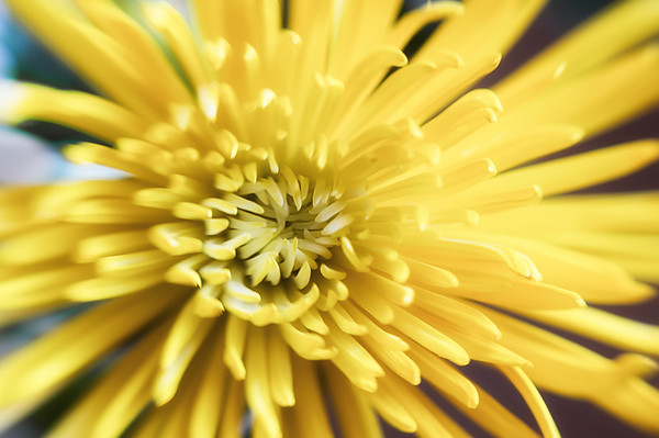 027 Jan 27/13  Yellow mum.. You know you're going to see a lot of flowers this week with a new bouquet in the house.<br /> <br /> Sorry I won't be able to comment much this week as the days will be very long with hospital visits after work.  I'll try to keep up as much as possible.