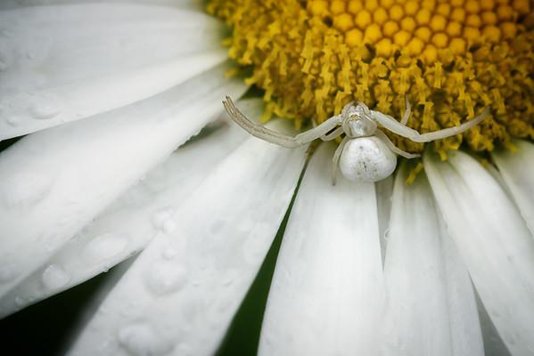 2016-07-31 Crabspider macro