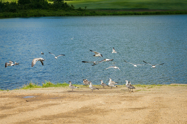 July 26 2014  It's not very often that I can get to a lake with gulls waiting for me.  As I approached, I honestly wanted to see them fly and try to get a group, flying shot.  Some co-operated and some did not.