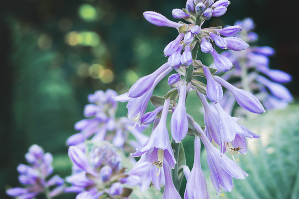 July 28 2014 Hosta in bloom