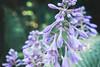 July 28 2014 Hosta in bloom