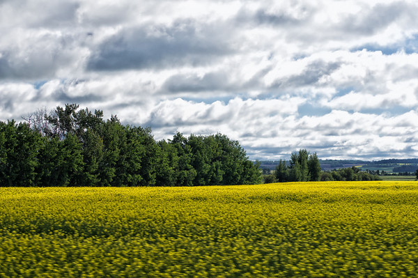 198 July 31/13 Another from the roadtrip.  The Canola fields are in full bloom here in Alberta and this one was shot through the window from the truck as we were going down the highway.  Some of you have asked where we're going, well, sometimes the journey is more interesting than the final destination.<br /> <br /> In response to what I'm sure will be the hottest topic of the day, I like the new changes at Smugmug, but I'm not happy with the changes to get rid of the communities.  I don't think the powers at Smugmug really realize the close group of people around the world that belong to the dailies.