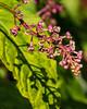 Pink before purple - pokeweed blooms