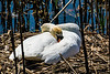 The long wait - nesting mute swan