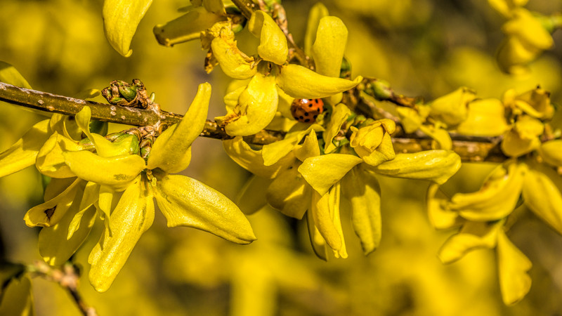 Early insect visitor to forsythia