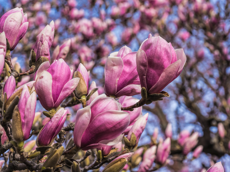 As far as the camera's eye could see - Magnolia blossoms