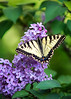 2017-06-07 The Perfect Swallowtail
