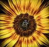 2017-08-08 Bee on Sunflower