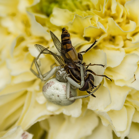 2017-07-11 Crab spider and victim