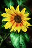 """2017-07-10 """"The sunflower is mine, in a way.""""  ― Vincent van Gogh"""