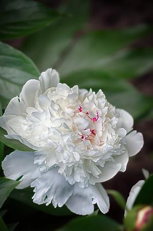 2017-06-25 White peony