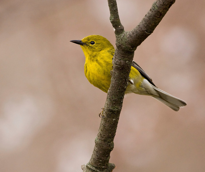 Tenative ID: Yellow Warbler<br /> <br /> Have never seen one of these birds before. Came to my feeder for a short time today.