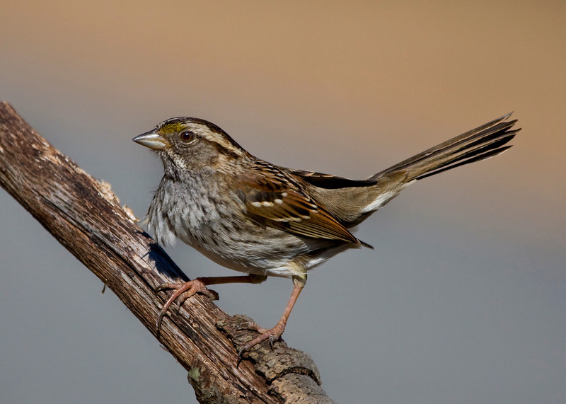 WT Sparrow - less sharpened and NR added