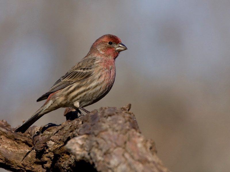 House Finch Original - NR only and Crop