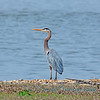 April 24.  Great Blue Heron on the Potomac.