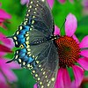 July 25.  This is the Black Swallowtail from yesterday but now you can see the beautiful wings.  Thanks for making this #2 in the Dailies!