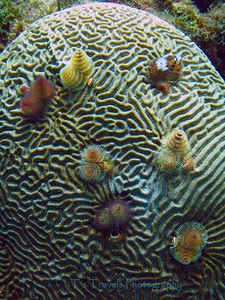"""July 30.  Christmas Tree Worms on Brain Coral while diving in Isla Mujeres Mexico. The worms' most distinct features are two """"crowns"""" shaped like Christmas trees. These are highly modified prostomial palps, which are specialized mouth appendages. Each spiral is composed of feather-like tentacles called radioles, which are heavily ciliated and cause any prey trapped in them to be transported to the worm's mouth. While they are primarily feeding structures, they also uses its radioles for respiration; hence, the structures commonly are called """"gills.""""  Because it does not move outside its tube, this worm does not have any specialized appendages for movement or swimming.  If you get too close, they completely disappear, they retract very quickly back into their tube."""