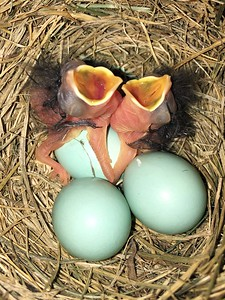 """B"" is for Baby Bluebirds."