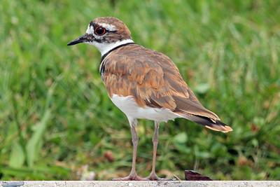 """K"" is for Killdeer.  Strange name for a bird, but K was a bit challenging for me, other then the basics."