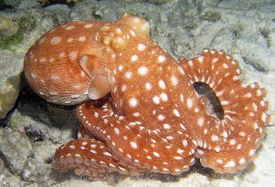 """""""O"""" is for Octopus.  Taken while scuba diving in Bonaire."""