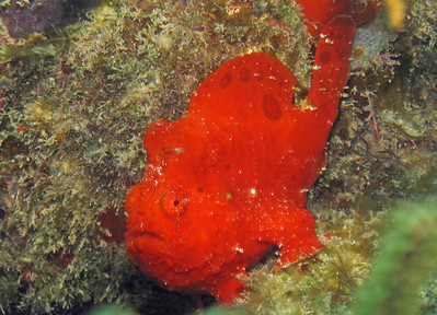 """F"" is for Frogfish.  This fish stayed in the same area of the reef for a week while we were scuba diving in Utila (one of the Bay Islands of Honduras).   We named it Scarlet."