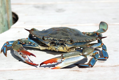 """C"" is for Crab.  Chesapeake Blue Crabs steamed with Old Bay Seasoning is what Marylanders can't get enough of!"