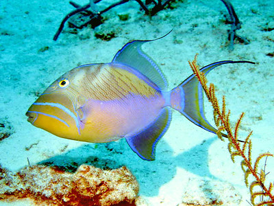 """Q"" is for Queen Triggerfish.   Taken while Scuba diving in Turks and Caicos."