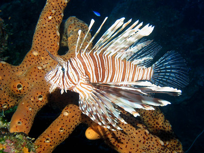 """L"" is for Lionfish.  They look so fancy but are an invasive species  with venomous spines.  Several dive companies make it a mission to eradicate these fish to save our ocean habitats.  Turks and Caicos."