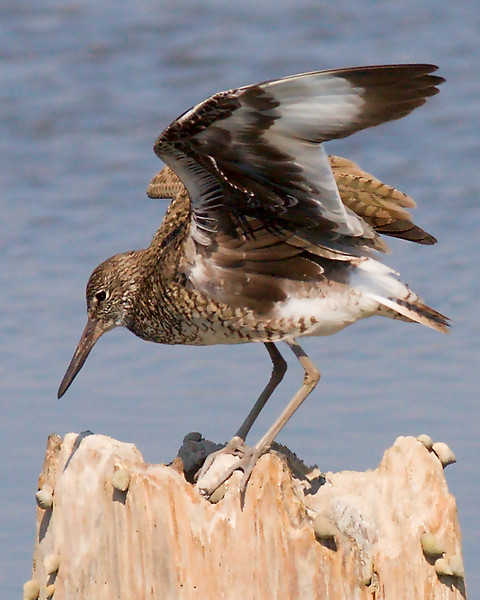 New: Willet (?) <br /> breeding plumage<br /> 4/20/2007