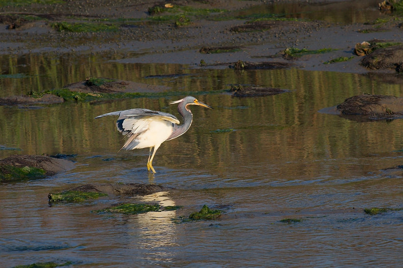 Tri Color Heron<br /> <br /> Pitt Street Bridge<br /> <br /> by ginger<br /> <br /> (I am turning on the ratings....just to let you know)<br /> <br /> Have a good day!