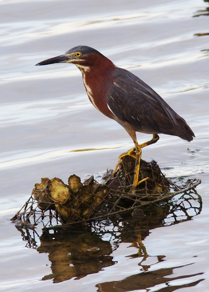 Green Heron<br /> Old Pitt Street Bridge <br /> 6/2/2006