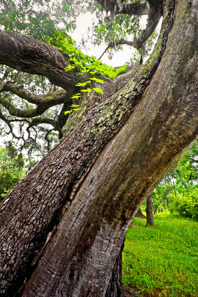 Live Oak Tree: huge trees