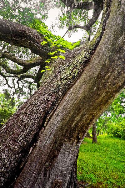Live Oak Tree: huge trees