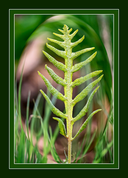 Fern frond in the forest.<br /> <br /> DP131-2013  Posted late May 11; taken and processed ditto<br /> <br /> Kensington Metropark Nature Center trail.<br /> Milford Township, MI<br /> May 11, 2013<br /> Another extremely late post.  I have got to break myself of this habit, but it's too tempting to spend these days out and about.  I'll catch up on commenting tomorrow, I hope.  For those who are curious, I just applied the spherize distortion in photoshop to create this effect...sort of like looking through a magnifying glass.  Sorry I don't know what kind of fern it is.  It's a young frond, not fully developed, though.