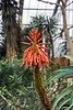 "Aloe camperi<br /> (original image size, uncropped, 4000x6000 pixels)<br /> Note added:  This version can be compared with a cropped version  <a href=""http://smu.gs/1kGjtD6"">http://smu.gs/1kGjtD6</a>) as per Harsh's suggestion in my 'Take Your Pick' gallery.<br /> <br /> DP364-2013  Private post for December 30; posted late on December 31.<br /> Moved to the public 2013 DP gallery on January 1, 2014<br /> <br /> One of my favorite plants at this conservatory, for its profuse blooms which brighten grey winter days.<br /> Matthaei Botanical Gardens, Ann Arbor<br /> Taken December 30, 2013"